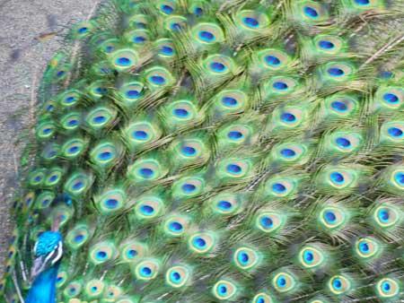 閉じかけの孔雀の羽根アップ