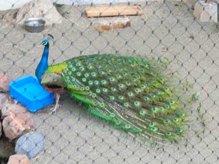 孔雀の閉じる羽根画像