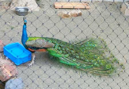 さらに閉じてきた孔雀の羽根