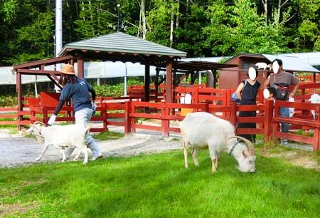 草を食べる山羊