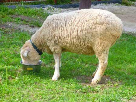 エサを食べる羊