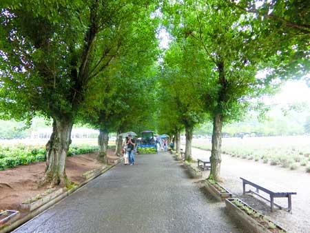ファーム富田ポプラの並木道
