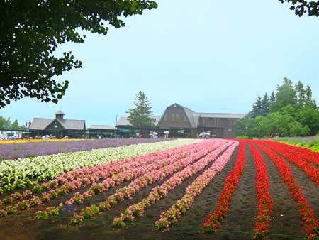 ファーム富田ピンク・赤・白の花畑